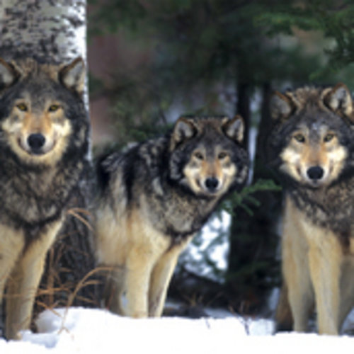 Poster Loups